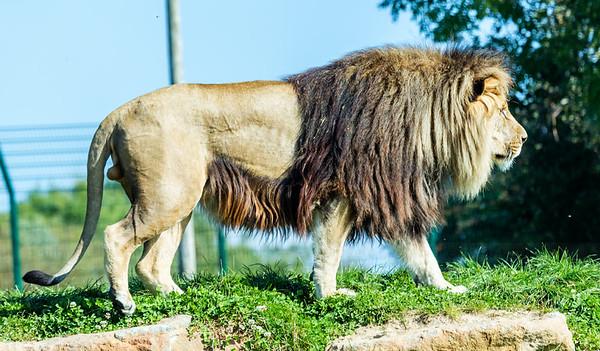 Lions at Folly Farm.