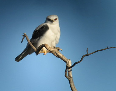 12/16/06 White Tailed Kite (Elanus leucurus). Kyle Court, La Cresta, Murrieta. SW Riverside County, CA