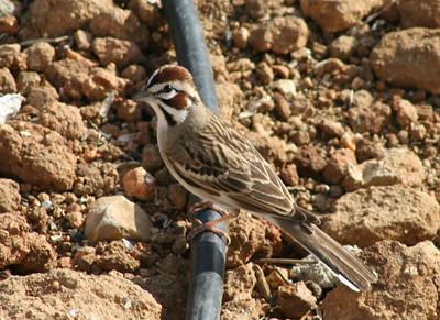 4/16/07 Lark Sparrow (Chondestes grammacus). Kyle Court, La Cresta, Murrieta, SW Riverside County, CA