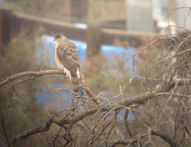 4/607 Sharp-shinned Hawk (Accipiter striatus). Kyle Court property, La Cresta, Murrieta, SW Riverside County, CA