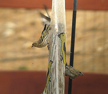 11/4/07 Pine Siskin (Carduelis pinus), heavily streaked. Flocks & feeds with Goldfinches. Kyle Court Property, La Cresta, Murrieta, SW Riverside County, CA