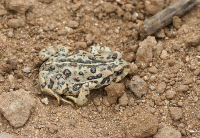 10/15/06 Western Toad (Bufo boreas halophilus). Kyle Court property, La Cresta, Murrieta, Riverside County, CA