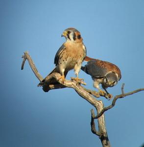 10/9/06 American Kestrel (Falvo sparverius). Kyle Court, La Cresta, Murrieta, Riverside County, CA