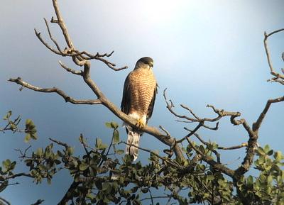 11/9/07 Cooper's Hawk (Accipiter cooperii). Kyle Court Property, La Cresta, Murrieta, SW Riverside County, CA