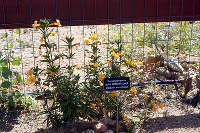 4/26/09 Bush Monkeyflower (Diplacus aurantiacus)