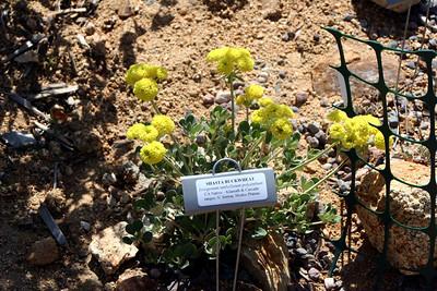 4/26/09 Shasta Buckwheat (Eriogonum umbellatum polyanthum)