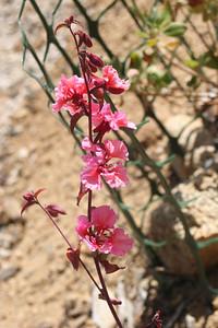 4/26/09 Elegant Clarkia (Clarkia unguiculata)