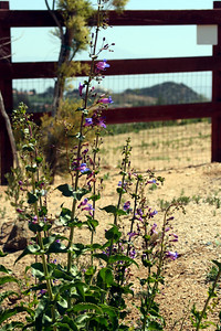 4/26/09 Showy Penstemon (Penstemon spectabilis)