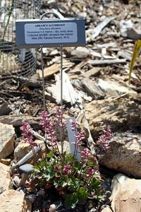 4/26/09 Abram's Alumroot (Heuchera abramsii)