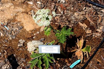 4/26/09 Cow Parsnip (Heracleum lanatum)