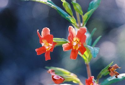 3/6/05 Bush Monkeyflower (Mimulus aurantiacus). Kyle Court, La Cresta, Murrieta, Riverside County, CA
