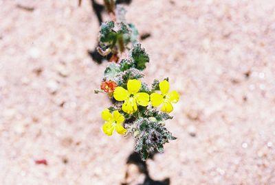 5/22/05 Field Sun Cup (Camissonia hirtella). Kyle Court, La Cresta. Riverside County, CA