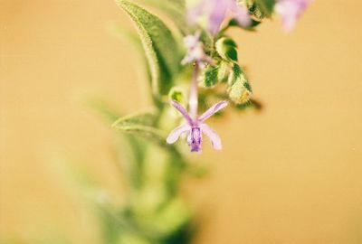 7/16/05 Vinegar Weed (Trichostema lanceolatum). Kyle Court Property, La Cresta, Murrieta, Riverside County, CA