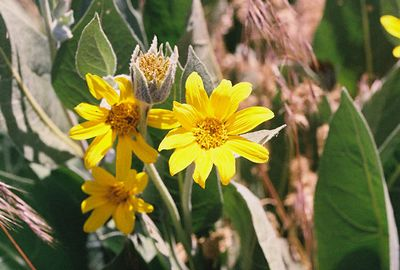 7/3/05 Mule's Ears (Wyethia mollis). Roadside (ag fields) heading north from Davis Creek on County Rd. 48 towards Goose Lake. Modoc County, CA