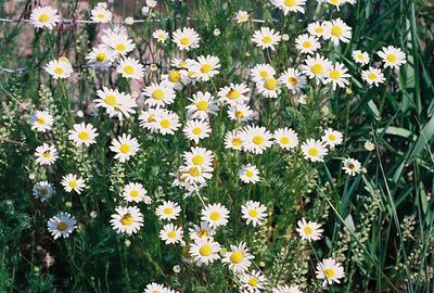 7/3/05 Ox-Eye Daisy (Leucanthemum vulgare). Roadside (ag fields)heading north from Davis Creek on County Rd. 48 towards Goose Lake. Modoc County, CA