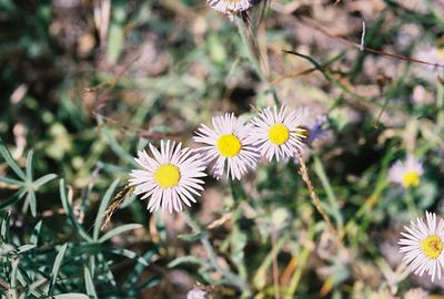 7/3/05 Erigeron species. Just cross causeway over Goose Lake, heading north from Davis Creek on County Rd. 48