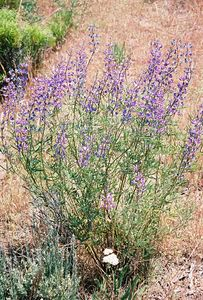 7/3/05 Lupine (Lupinus species). Just cross causeway over Goose Lake, heading north from Davis Creek on County Rd. 48, Modoc County, CA