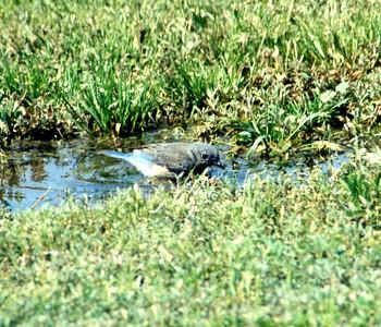 5/26/02 Female Mountain Bluebird (Sialia curruccides). Near Visitor Center, Hidden Valley Wildlife Area, Norco, Riverside County, CA