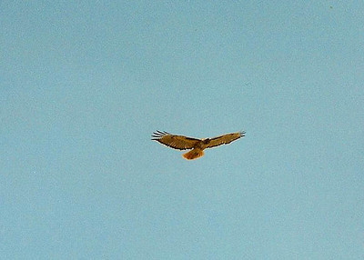 5/26/02 Red-Tailed Hawk (Buteo jamaicensis). Hidden Valley Wildlife Area, Norco, Riverside County, CA