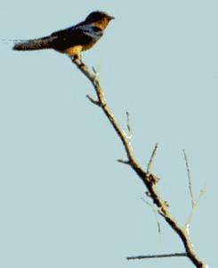 5/26/02 Barn Swallow (Hirundo rustica). Hidden Valley Wildlife Reserve, Norco, Riverside County, CA
