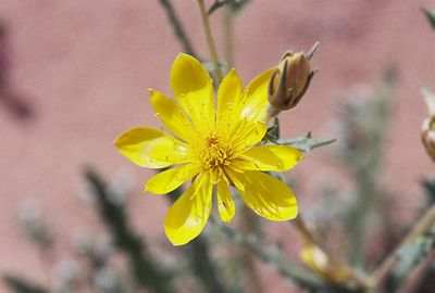 2/19/05 Adonis Blazing Star (Mentzelia multiflora ssp. longiloba).  Roadside, north of Hwy 78, west of Imperial Sand Dunes Recreation Area (N. Algodones Dunes). Imperial County, CA