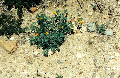 3/25/01 Little Gold Poppy (Eschscholzia minutiflora). Jawbone Road, Jawbone Canyon,  Kern County, CA