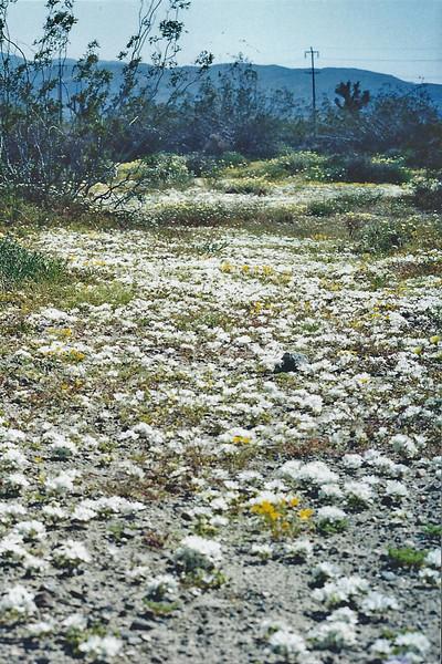 5/10/03 Parry's Linanthus (Linanthus parryae). Jackrabbit Flat Wildlife Sanctuary, W. Mojave Desert, E. Antelope Valley, Los Angeles County, CA