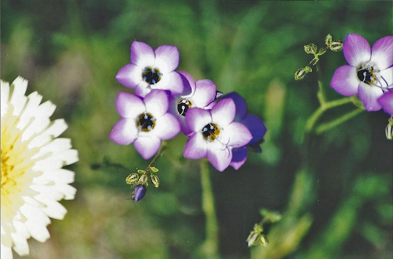 5/10/03 Broad-Flowered Gilia (Gilia latiflorus ssp. davyi). Jackrabbit Flat Wildlife Sanctuary, W. Mojave Desert, E. Antelope Valley, Los Angeles County, CA