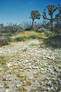 5/10/03 Jackrabbit Flat Wildlife Sanctuary, W. Mojave Desert, E. Antelope Valley, Los Angeles County, CA