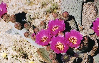PLANTS: CACTACEAE (Cactus Family)