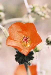 3/13/05 Apricot Mallow (Sphaeralcea ambigua). Between North Entrance and Pinto Basin. Joshua Tree National Park, San Bernardino County, CA