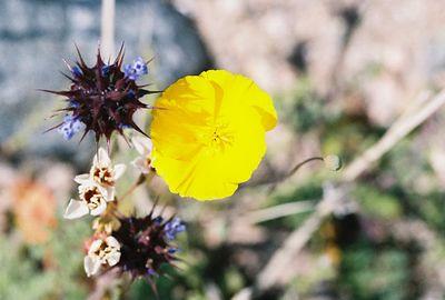 3/13/05 Desert Gold Poppy (Eschscholzia glyptosperma). Between North Entrance and Pinto Basin. Joshua Tree National Park, San Bernardino County, CA