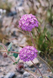 3/13/05 Desert Sand Verbena (Abronia villosa). Between North Entrance and Pinto Basin. Joshua Tree National Park, San Bernardino County, CA