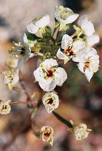 3/13/05 Brown-Eyed Evening Primrose (Camissonia claviformis). Between North Entrance and Pinto Basin. Joshua Tree National Park, San Bernardino County, CA