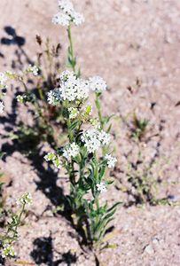 3/13/05 Forget-Me-Not? (Cryptantha species). Between North Entrance and Pinto Basin. Joshua Tree National Park, San Bernardino County, CA