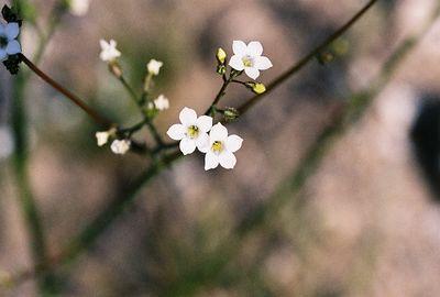 3/13/05 Gilia species. Between North Entrance and Pinto Basin. Joshua Tree National Park, San Bernardino County, CA