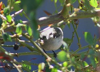 9/18/10 Bushtit (Psaltriparus minimus). Kyle Court, La Cresta, Murrieta, SW Riverside County, CA