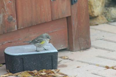 12/13/11 Yellow-rumped Warbler (Dendroica coronata). Kyle Court, La Cresta, Murrieta, SW Riverside County, CA
