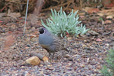 12/17/10 California Quail (Callipepla californica). Kyle Court property, La Cresta, Murrieta, Riverside County, CA