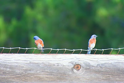 10/29/10 Western Bluebird (Sialia mexicana). Kyle Court, La Cresta, Murrieta, Riverside County, CA