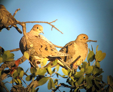12/5/07 Mourning Dove (Zenaida macroura).  Kyle Court Property, La Cresta, Murrieta, SW Riverside County, CA