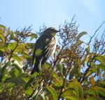 2/23/07 Yellow-rumped Warbler (Dendroica coronata). Kyle Court, La Cresta, Murrieta, SW Riverside County, CA
