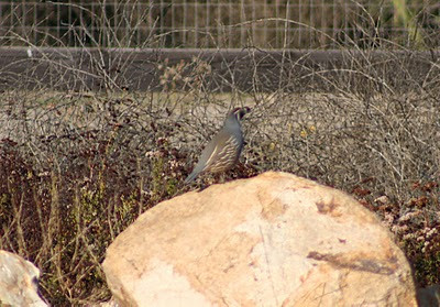10/31/10 California Quail (Callipepla californica). Kyle Court property, La Cresta, Murrieta, Riverside County, CA