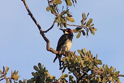 1/16/11 Acorn Woodpecker (Melanerpes formicivorus). Kyle Court, La Cresta, Murrieta, Riverside County, CA