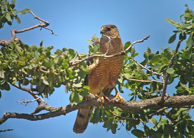 8/18/10 Sharp-Shinned Hawk (Accipiter striatus). Kyle Court Property, La Cresta, Murrieta, SW Riverside County, CA