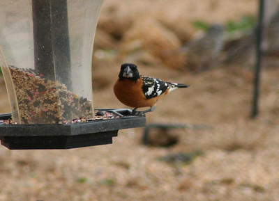 4/7/06 Black-headed Grosbeak (Pheucticus melanocephalus). Kyle Court property, La Cresta, Murrieta, SW Riverside County, CA