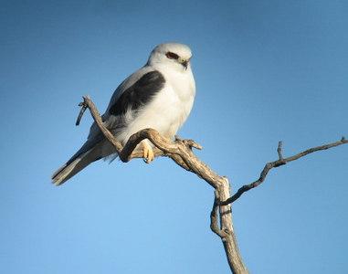 BIRDS: Hawks & Eagles (Accipitridae)