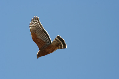 3/31/07 Red-Shouldered Hawk (Buteo lineatus). Kyle Court Property, La Cresta, Murrieta, SW Riverside County, CA