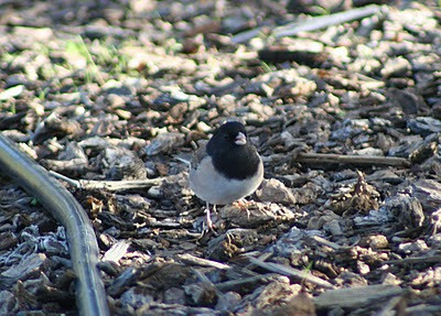 "11/8/07 Dark-Eyed ""Oregon"" Junco (Junco hyemalis).  Kyle Court, La Cresta, Murrieta, SW Riverside County, CA"
