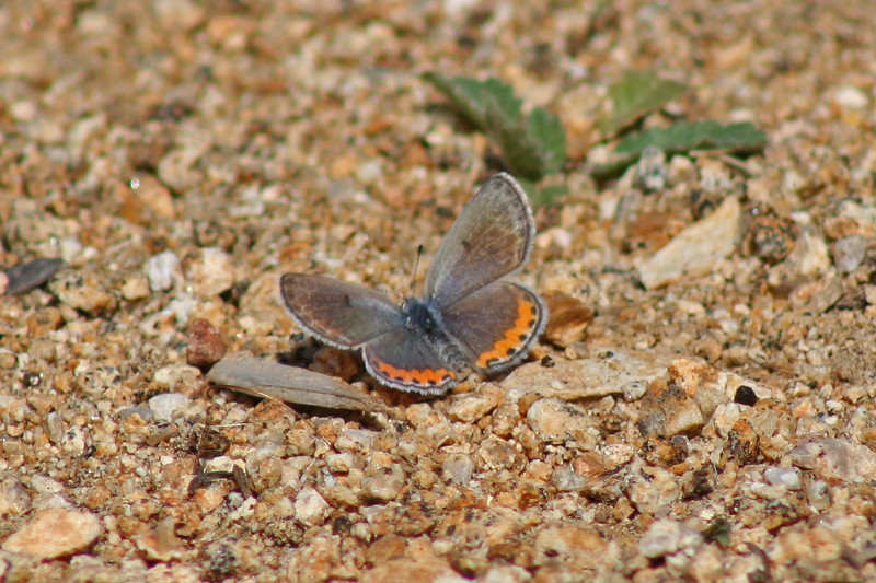 5/2/10 Acmon Blue (Plebejus acmon). Kyle Court, La Cresta, Murrieta, Riverside County, CA